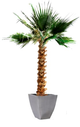 Palma Washingtonia  preservata